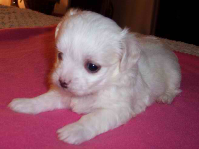 Maltese Purebred Akc Puppies For Sale In North Carolina