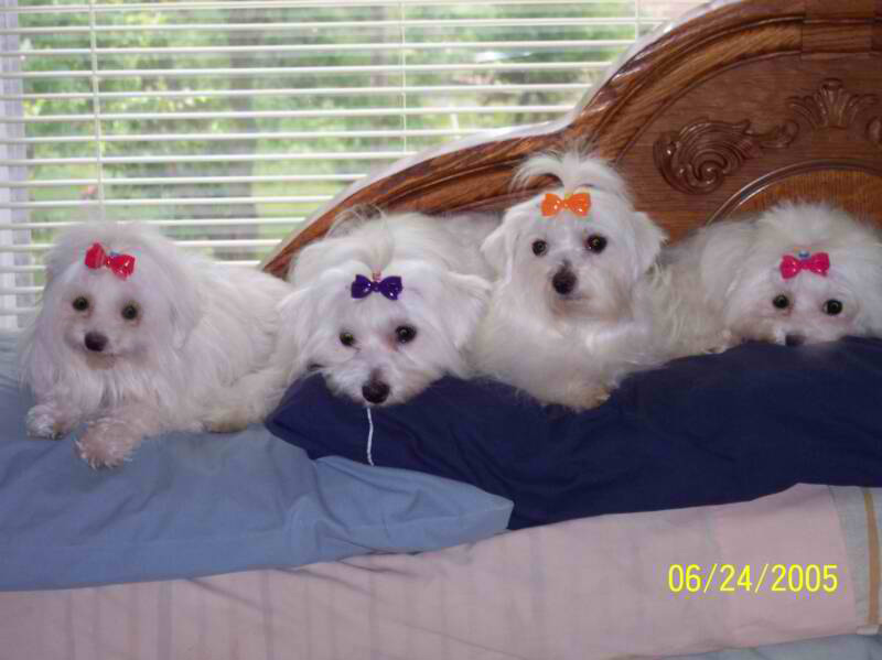 sale for Adult maltese