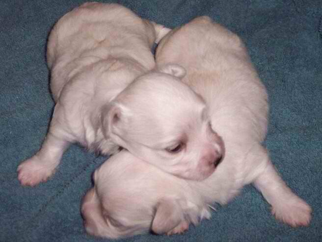 Maltese Purebred A K C  Puppies For Sale In North Carolina